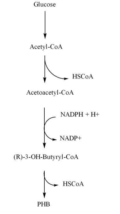 FIG. 2 | Synthesis pathway of PHB from glucose.