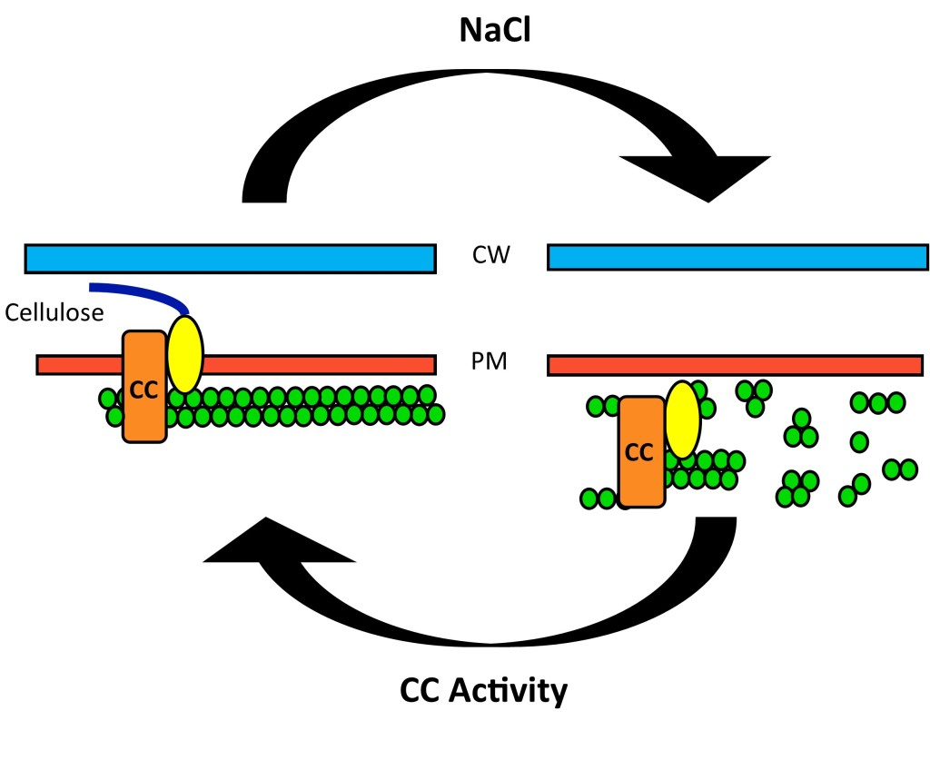 FIG. 1 | Application of NaCl rapidly depolymerizes microtubules (Endler et al. 2015). The cellulose synthase complex (synthase (CesA) and companion proteins (CC)), requires microtubule organization for mobility and enzymatic activity (Heredia et al. 1995). CC's help repolymerize microtubules following depolymerization due to ionic stress (Agrios 2005).