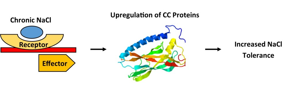 FIG. 2 | Chronic NaCl exposure suspected to induce upregulation of CC which will increase tolerance to ionic stress. Tolerance of conditioned plants were assessed by observing growth after exposure to an acute ionic stress. CC2 protein image generated used Phyre2 web portal for protein modeling (Schindelin, J. et al. 2012).