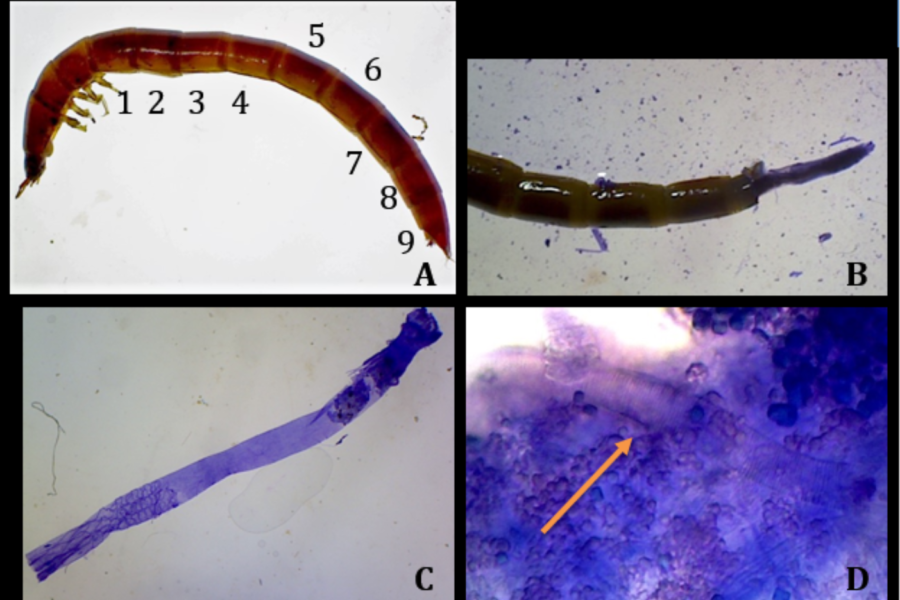 Greater Parasitic Gregarine load in aquatic beetle larvae from polluted streams than pristine streams